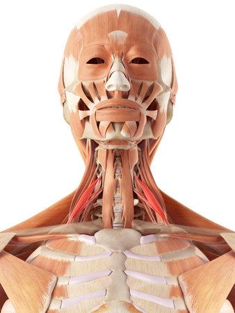 medisch nauwkeurige illustratie van de scalene anterior