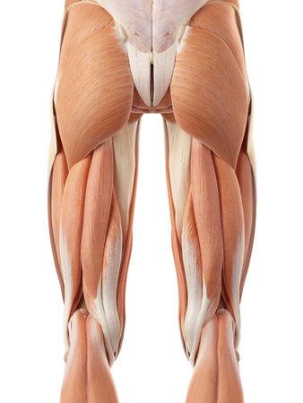 Illustrazione medico accurato dei muscoli posteriori delle gambe Archivio Fotografico - 44208086