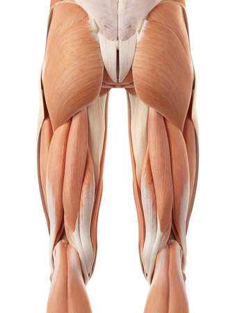 medically accurate illustration of the posterior leg muscles 版權商用圖片 - 44208086