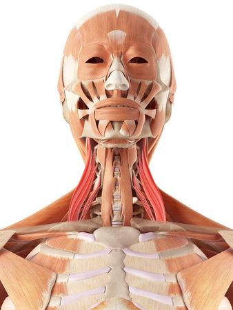 medisch nauwkeurige illustratie van het midden scalene