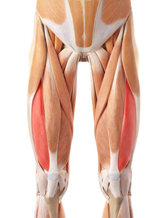 medically accurate illustration of the vastus lateralis