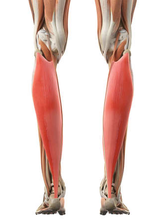 medically accurate illustration of the soleus Stock Photo