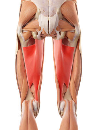 medically accurate illustration of the adductor magnus Stock Illustration - 44208561