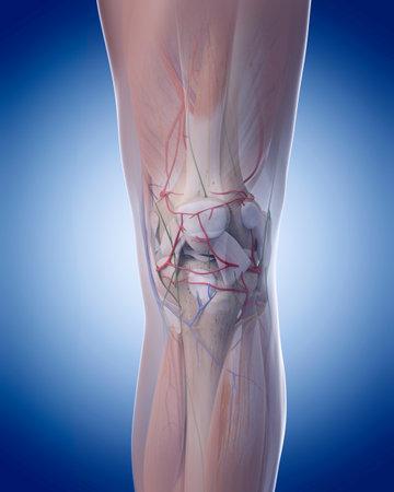 무릎 해부학 의학적으로 정확한 그림 스톡 콘텐츠