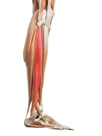 medically accurate illustration of the peroneus longus
