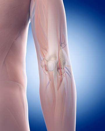 medically accurate illustration of the elbow anatomy Stock Illustration - 44208638