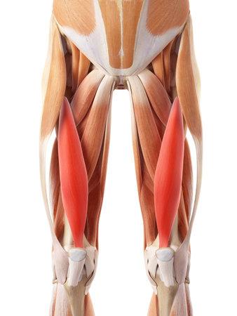 中間広筋の医学的に正確な図