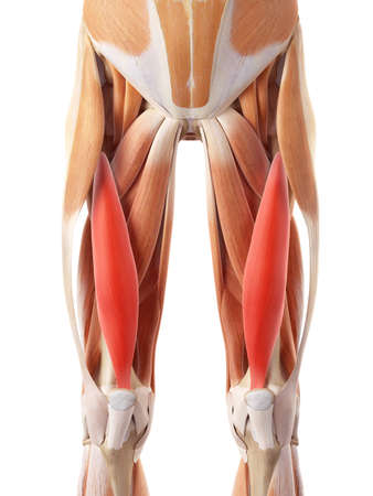 medically accurate illustration of the vastus intermedius