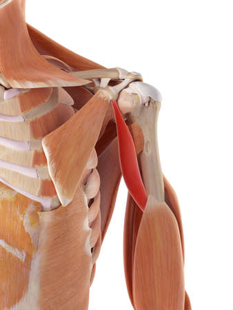 medically accurate illustration of the coracobrachialis Stock Illustration - 44208652