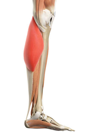 medically accurate illustration of the gastrocnemius medial head