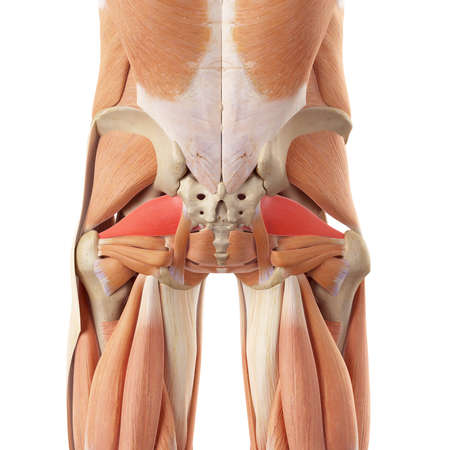medically accurate illustration of the piriformis Stock Illustration - 44208916