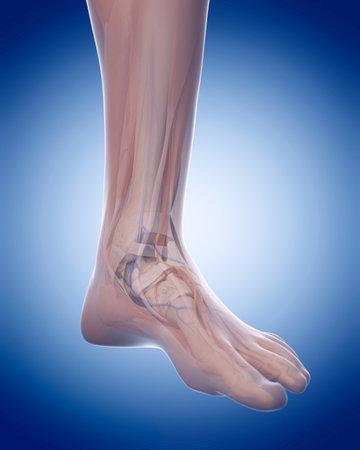 足の解剖学の医学的に正確な図