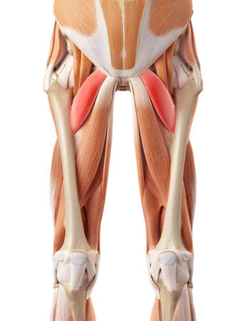 medically accurate illustration of the pectineus Foto de archivo