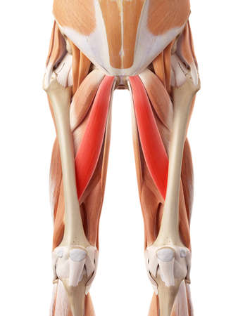 medically accurate illustration of the adductor longus