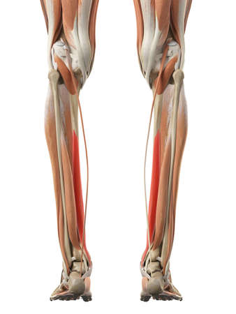 長趾屈筋の医学的に正確な図 写真素材