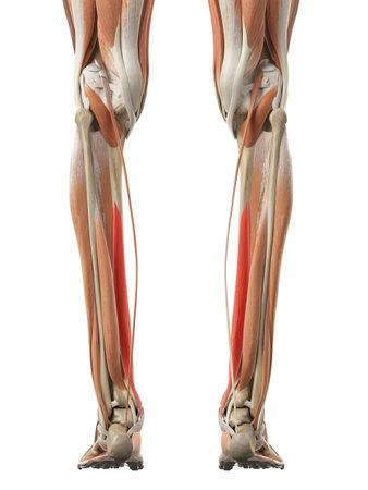 flexor digitorum longus의 의학적으로 정확한 그림 스톡 콘텐츠