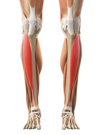 脛骨の医学的に正確な図 写真素材