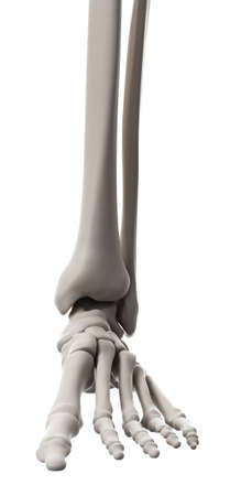 medically accurate illustration of the skeletal system - the foot Stock Photo