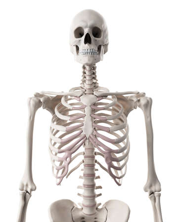 medically accurate illustration of the skeletal system - the thorax Stock Photo