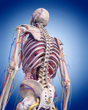 Kreislauf-und Nervensystem Rückansicht Rücken In Weiß Isoliert ...