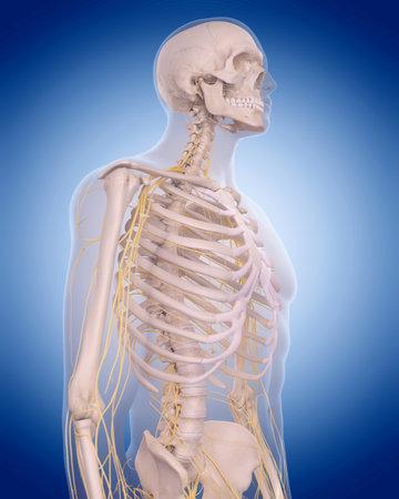 医学的に正確な図 - 胸部の神経