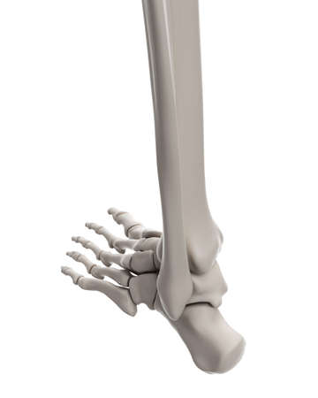 Medically Accurate Illustration Of The Ankle Bones Stock Photo