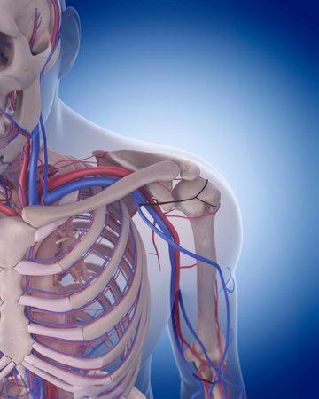 Schlüsselbein Anatomie Mit Kreislauf-System Lizenzfreie Fotos ...