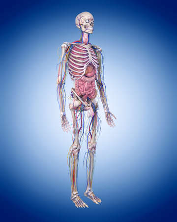 medically accurate illustration of the human anatomy Stock Photo