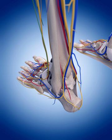 ilustración médica precisa de la anatomía del pie