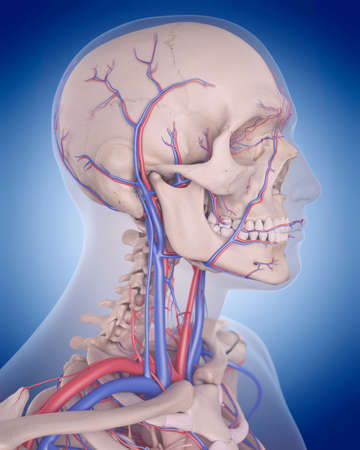 medically accurate illustration of the circulatory system - neck