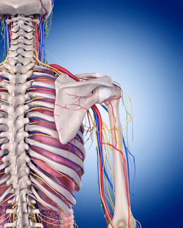 肩の解剖学の医学的に正確な図