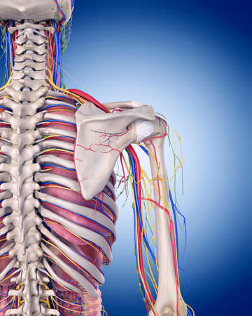 medically accurate illustration of the shoulder anatomy Zdjęcie Seryjne - 44543353