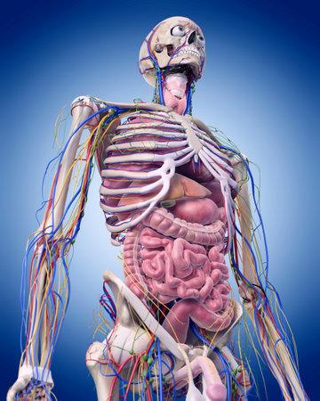 腹部の解剖学の医学的に正確な図 写真素材