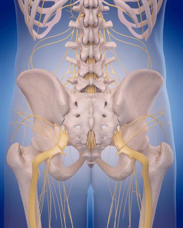 Illustrazione medico accurato - nervo sciatico Archivio Fotografico - 44543361