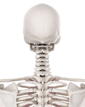 Medically Accurate Illustration Of The Skeletal System The Stock