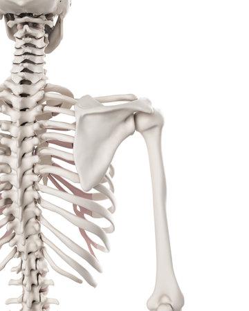 Illustrazione medico accurato del sistema scheletrico - spalla Archivio Fotografico - 44543396