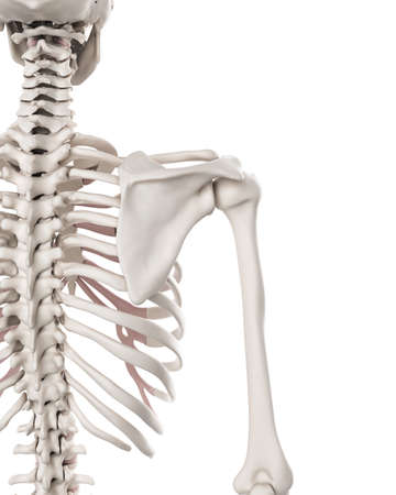 medically accurate illustration of the skeletal system - the shoulder Stock Photo