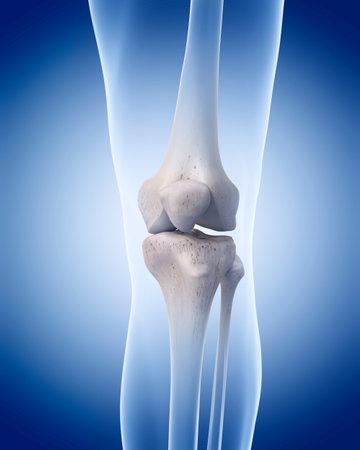 medizinisch genaue Darstellung des menschlichen Skeletts - das Knie