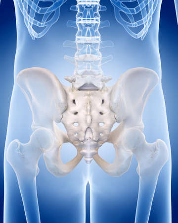 인간의 골격 - sacrum의 의학적으로 정확한 일러스트 레이션