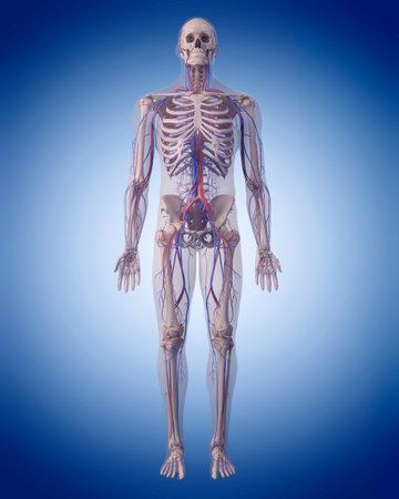 Illustrazione medico accurato del sistema circolatorio Archivio Fotografico - 44543549