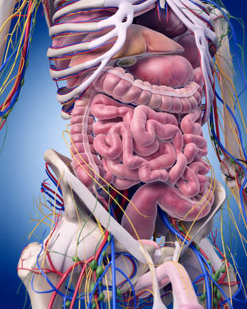 Ilustración médica precisa de la anatomía abdominal Foto de archivo - 44543561