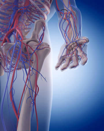 medically accurate illustration of the circulatory system - hand Stock Photo