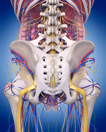 股関節の解剖学の医学的に正確な図