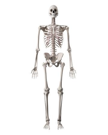 Illustrazione medico accurato dello scheletro umano Archivio Fotografico - 44543975