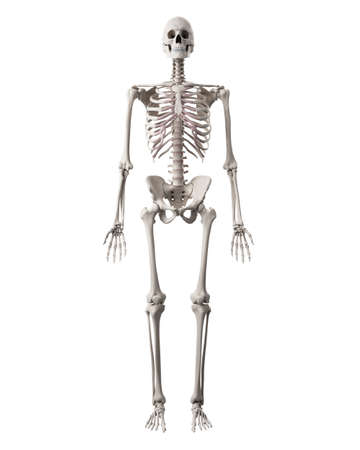 medically accurate illustration of the human skeleton Stock Illustration - 44543975