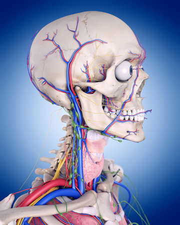 medically accurate illustration of the throat anatomy Stock Photo