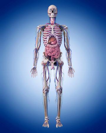 인체 해부학의 의료 정확한 그림