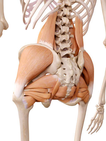 Medically Accurate Anatomy Illustration - Hip Muscles Stock Photo ...