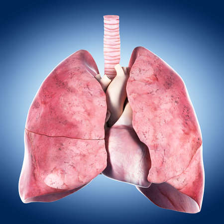 medically accurate illustration of the heart and lung