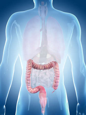 medically accurate illustration of the large intestine Zdjęcie Seryjne